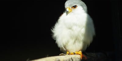 Pygmy Falcon - perched on branch looking around,medium 2