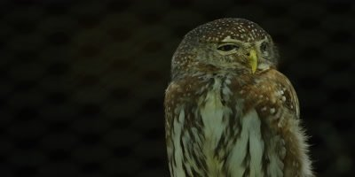 Pearl-spotted Owlet - turns head,showing eye-spots