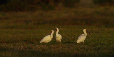 African Spoonbill - flock standing in marshland