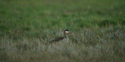 Red-billed Teal - Walking in marsh