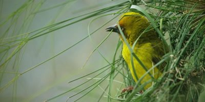 Cape Weaver - building a nest 2,securing loose grass