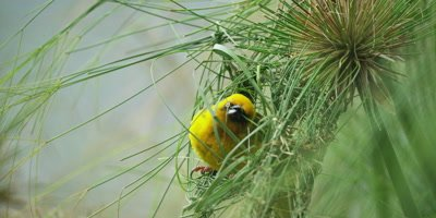 Cape Weaver - building a nest 3,threading grass,medium