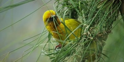 Cape Weaver - building a nest 1,threading grass,close shot
