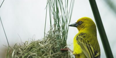 Cape Weaver - destroying a nest 1,pulling grass,close
