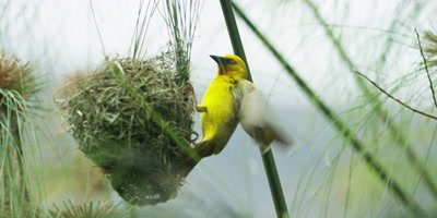 Cape Weaver - destroying a nest 2,pulling strands,medium