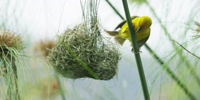 Cape Weaver - destroying a nest 5,flies in then pulls nest to branch