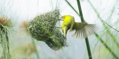Cape Weaver - destroying a nest 6,pulling strands,flies away