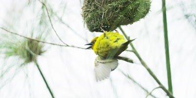 Cape Weaver - male doing courtship display under nest,medium shot