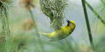 Cape Weaver - destroying a nest 7,hanging under,pulling strands