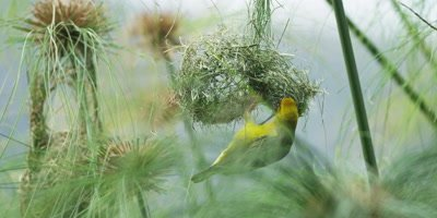 Cape Weaver - destroying a nest 8,hanging under,pulling strands