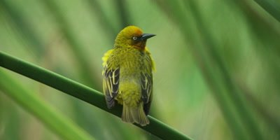 Cape Weaver - male doing courtship display