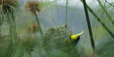 Cape Weaver - destroying a nest 10,pulls nest off and falls