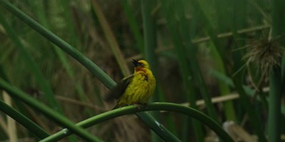 Cape Weaver - male doing courtship display on reed,flies off