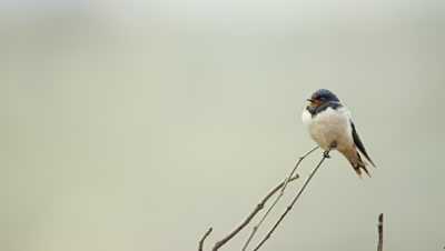 Barn Swallow - perched on dead branch,close shot