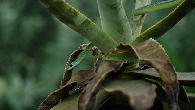 Natal Green Snake - slithering down aloe