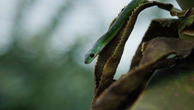 Natal Green Snake - slithering down aloe, close up