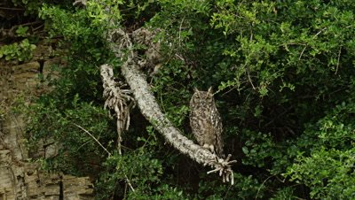 Spotted Eagle Owl - pair on branch, wide