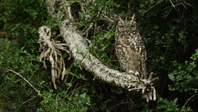 Spotted Eagle Owl - sitting on branch, medium shot