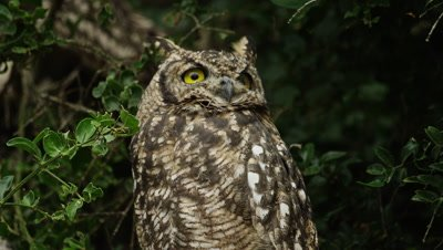 Spotted Eagle Owl - looks up then to camera, close shot