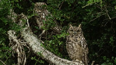 Spotted Eagle Owl - pair on branch, medium shot