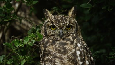 Spotted Eagle Owl - looking at camera, close shot