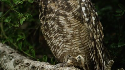Spotted Eagle Owl - tilt from claws to face