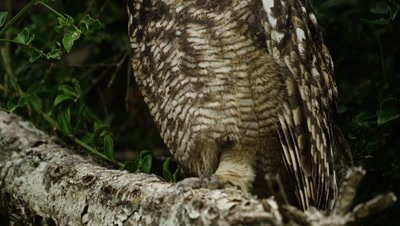 Spotted Eagle Owl - tilt from claws to face 2