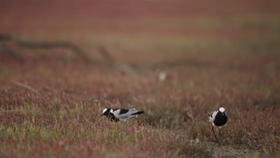 Blacksmith Lapwing (Plover) - flock in the grass 2