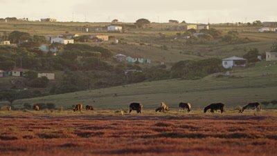 Herd of cows, rural setting - wide 2