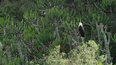 African Fish Eagle - Sitting in tree