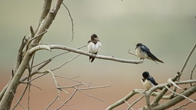 Barn Swallow - perched on dead branch