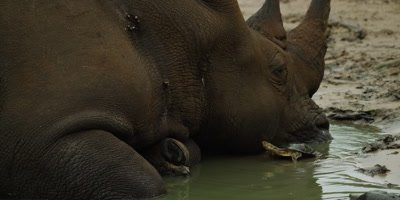 White Rhino lying in water - turtle eats tick off neck, close up