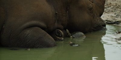 White Rhino lying in water - turtle eats tick off neck, close up 2