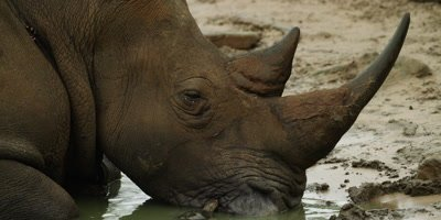 White Rhino lying in water - turtle eats tick off face, close up