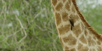 Oxpecker - on Giraffe neck, searching for ticks