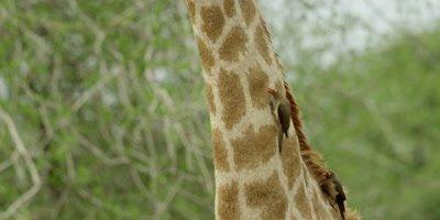 Oxpecker - pair on Giraffe neck, searching for ticks, tilt to head