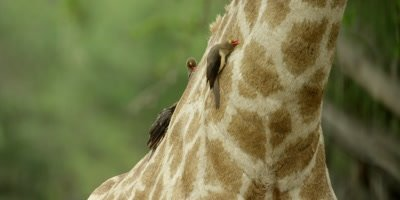 Oxpecker - flock on Giraffe neck, searching for ticks, tilt to head