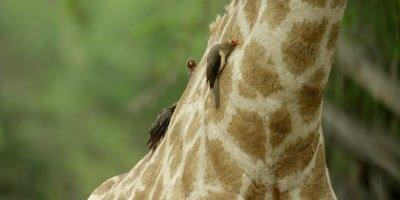 Oxpecker - flock on Giraffe neck, searching for ticks, tilt to head
