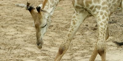 Giraffe - bends down to drink then runs away
