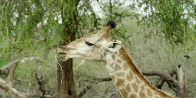 Giraffe - drinking then lifts head, spraying water