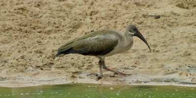 Hadeda Ibis - walking alonge edge of waterhole, foraging