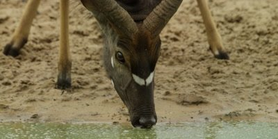 Nyala - drinking, close shot