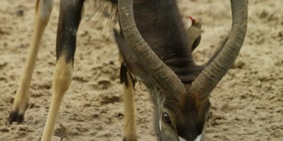 Nyala - drinking, oxpeckers searching for ticks on neck
