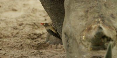Oxpecker - on rhino's leg, close shot