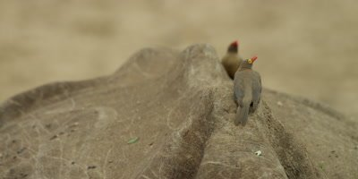 Oxpecker - pair on rhino's back, medium shot