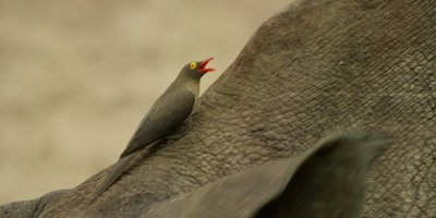 Oxpecker - perched between rhino's ears, from side