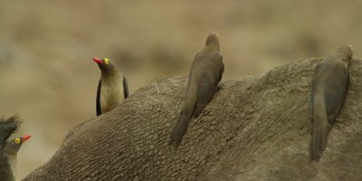 Oxpecker - flock on rhino's back, hide behind