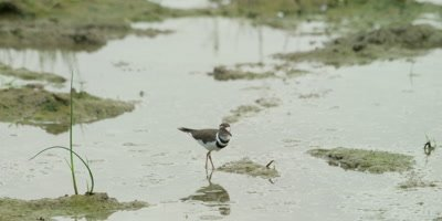 Three-banded plover - foraging for food in wetland