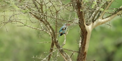 Woodland Kingfisher - sitting in thorn tree