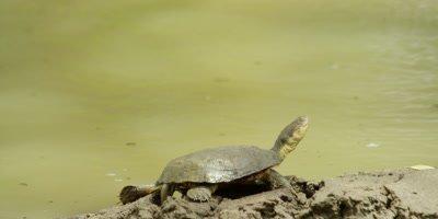 African helmeted turtle (Marsh terrapin) - sunning itself